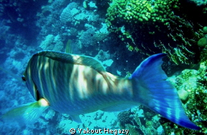 Langnose Parrotfish by Yakout Hegazy 